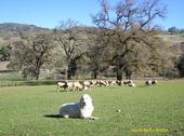 A guard dog protects sheep at the UC Hopland Research and Extension Center. (Photo: Robert J. Keiffer)