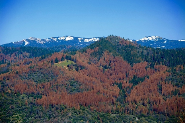The U.S. Forest Service said 60 million trees in the Sierras are dead. (Photo: U.S. Forest Service.)