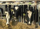 DNA from genetically engineered feed is not passed to milk or meat, according to research by UCCE specialist Alison Van Eenennaam.