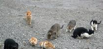 All outdoor cats can pose risks to wildlife. Above a herd of feral cats gather in a vacant lot. (Photo: Wikimedia Commons) for ANR News Blog Blog