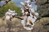 A bee pollinates an almond blossom under sunny skies.