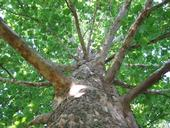 Sycamore trees are particularly susceptible to the ravages of polyphagous shot hole borer. These majestic trees provide shade, clean the air, and protect water - valuable ecosystem services that are lost when a pest kills the tree.