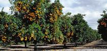 An orange orchard at Lindcove Research & Extension Center. The 2018 Farm Bill provides grants for citrus research. for ANR News Blog Blog