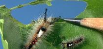 "To control western tussock moth caterpillars, ""use pressure washers to push the larvae off the trees before they start wandering around,"" Andrew Sutherland said. for ANR News Blog Blog"