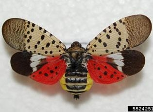 Spotted lanternfly is a striking insect. (Photo: USDA)