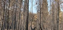 A dense stand pine trees and firs burned by the 2020 Creek Fire. for ANR News Blog Blog
