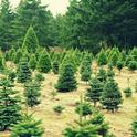 Cut the environmental impact of Christmas by buying a tree at a local farm.