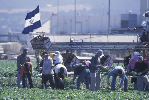 Farmworkers harvest vegetables in the Salinas Valley.
