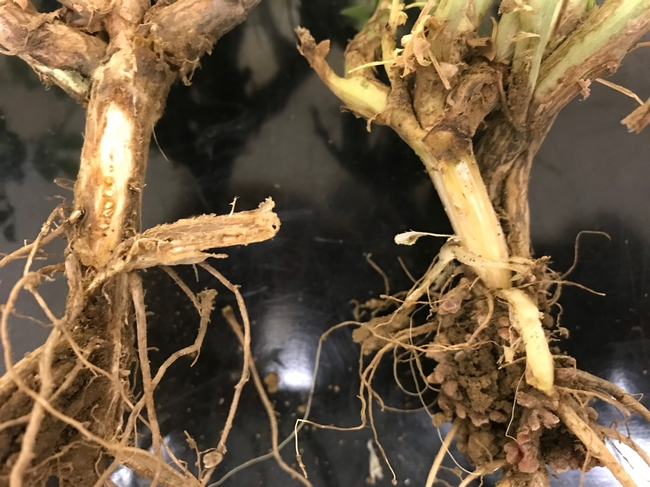 Healthy garbanzo root (top) and diseased one (lower) infected with alfalfa mosaic virus (note the brown discoloration.
