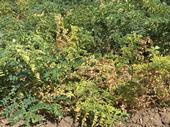 Figure 1. Garbanzo leaf yellowing and necrosis indicative of Fusarium wilt.