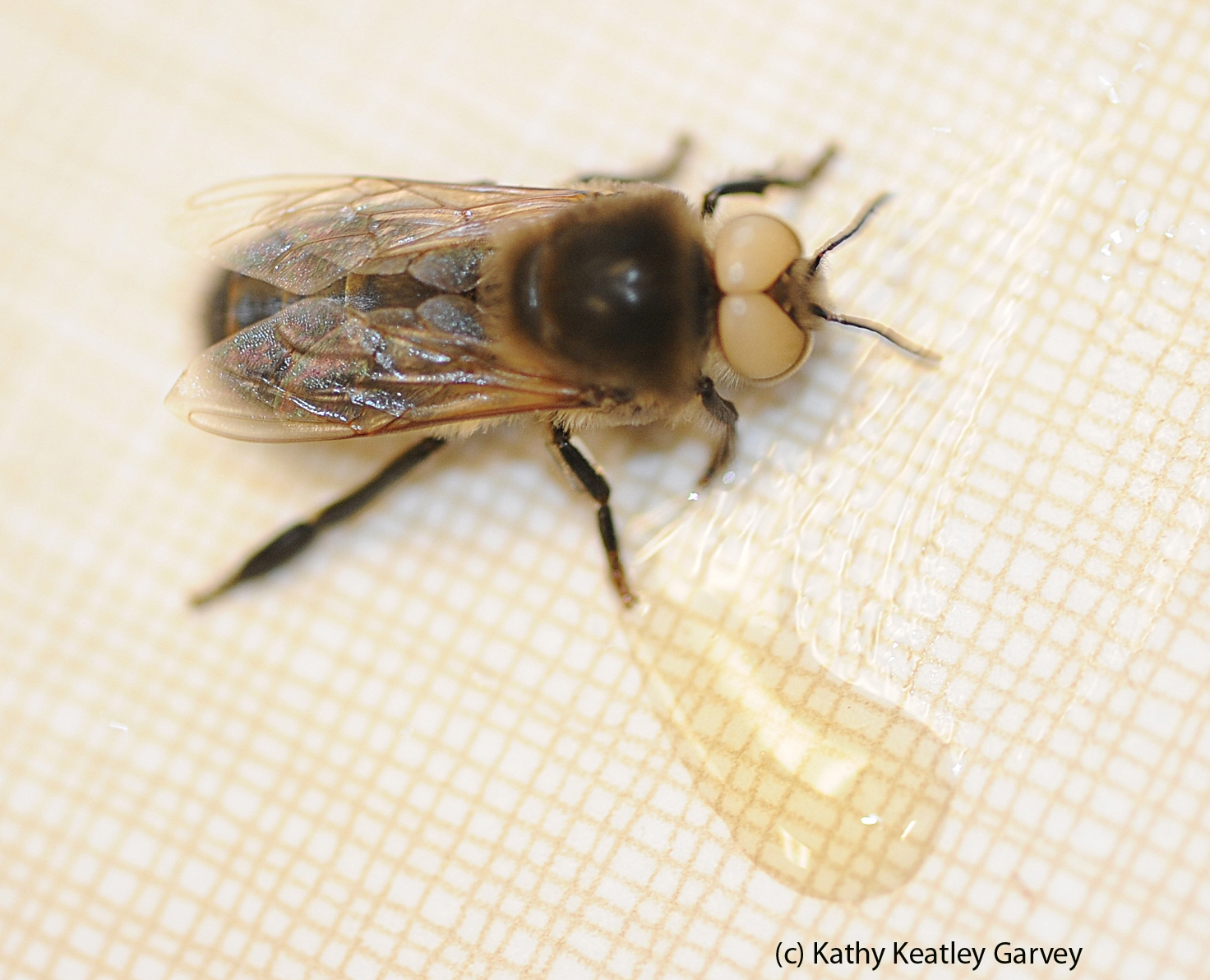 This Is A White Eyed Caucasian Dark Honey Bee Drone Drones Are Blind In The Foreground Photo By Kathy Keatley Garvey