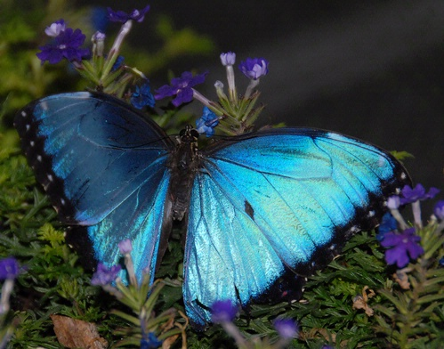 BLUE BUTTERFLY--This butterfly in the  live butterfly display at the Entomological Society of America's recent meeting in Reno prompted photographers to aim, focus and shoot. (Photo by Kathy Keatley Garvey)