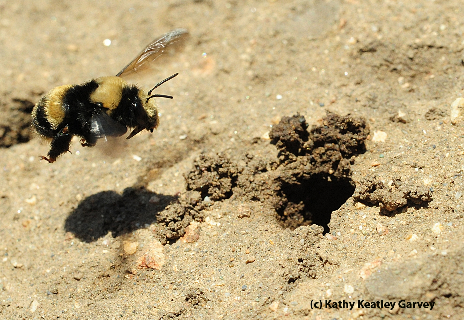 Female Digger Bee Anthophora Bomboides Stanfordiana Heads For Her Nest Photo By Kathy Keatley Garvey