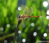 Variegated meadowhawk, Sympetrum corruptum, glows in the early morning. (Photo by Kathy Keatley Garvey)