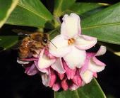 Honey bee on daphne