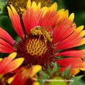 Honey bee is covered with pollen from a blanket flower, Gaillardia. (Photo by Kathy Keatley Garvey)