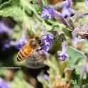 A honey bee can beat its wings 230 times every second. (Photo by Kathy Keatley Garvey)