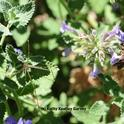 A cellar spider eyes a honey bee in the catmint (Nepeta). (Photo by Kathy Keatley Garvey)