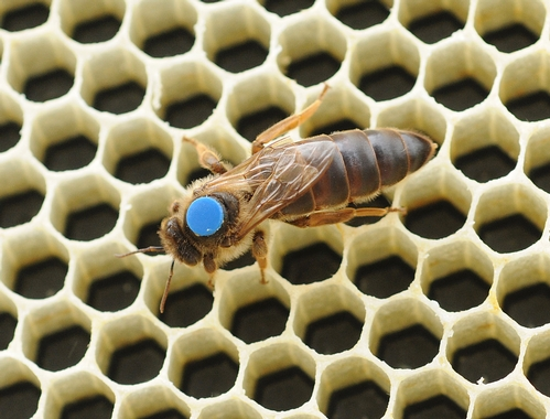 CLOSE-UP of a queen bee shows the dot on her thorax which makes it easier for beekeepers to distinguish the queen from the worker bees and drones. Sometimes worker bees, in grooming the queen, remove the marker.  (Photo by Kathy Keatley Garvey)