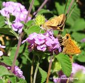 Courtship in the lantana: the female is on the left, and the male on the right. (Photo by Kathy Keatley Garvey)