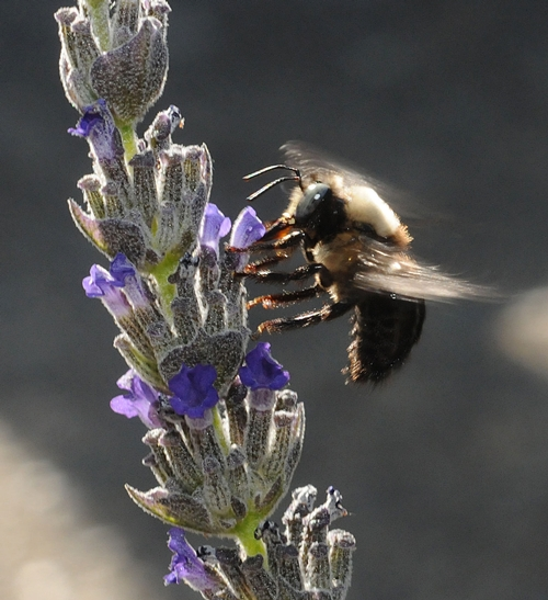FEET FIRST--A male carpenter bee glides in for a landing on lavender. (Photo by Kathy Keatley Garvey)