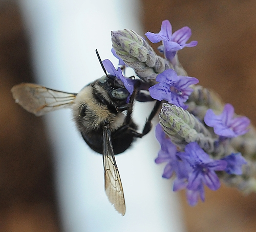 MALE CARPENTER BEE nectars lavender. (Photo by Kathy Keatley Garvey)