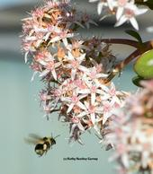 Black-tailed bumble bee, Bombus melanopygus, heading for jade blossoms. (Photo by Kathy Keatley Garvey)