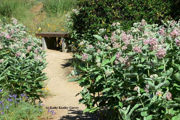Walk Down The Garden Path, Lined With Milkweed, And Sit On The Bench In The  UC Davis Arboretum. (Photo By Kathy Keatley Garvey)