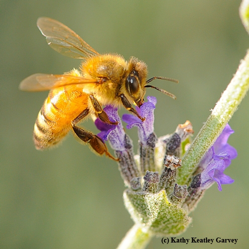 BLOND HONEY BEE, of the Cordovan subspecies of the Italian race of honey bees, nectaring on lavender. (Photo by Kathy Keatley Garvey)