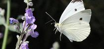 Cabbage white butterfly in mid-flight. (Photo by Kathy Keatley Garvey) for Bug Squad Blog