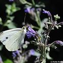 Cabbage white butterfly on catmint. (Photo by Kathy Keatley Garvey)