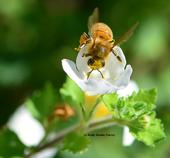 A pollen-covered honey bee heading toward Bacopa. (Photo by Kathy Keatley Garvey)