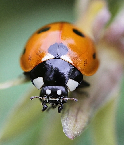 Would you like to have your very own lady beetle, aka lady bug? The UC Statewide Integrated Pest Management Program will be giving them away at Briggs Hall during the 101st annual UC Davis Picnic Day. (Photo by Kathy Keatley Garvey)
