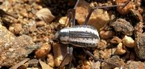A Racing Stripe Darkling Beetle at Epupa Falls, Namibia. (Photo by Hans Hillewaert, Courtesy of Wikipedia) for Bug Squad Blog