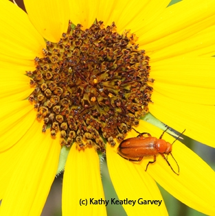 Linnaean Games have included questions about the blister beetle,Meloidae. (Photo by Kathy Keatley Garvey)