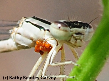 Close-up of water mites on a damsel fly. (Photo by Kathy Keatley Garvey)