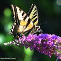 A Western tiger swallowtail nectarine on a butterfly bush. (Photo by Kathy Keatley Garvey)
