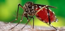 Female mosquito, Aedes aegypti, also known as