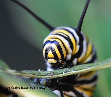 Monarch caterpillars feed only on milkweed. (Photo by Kathy Keatley Garvey)