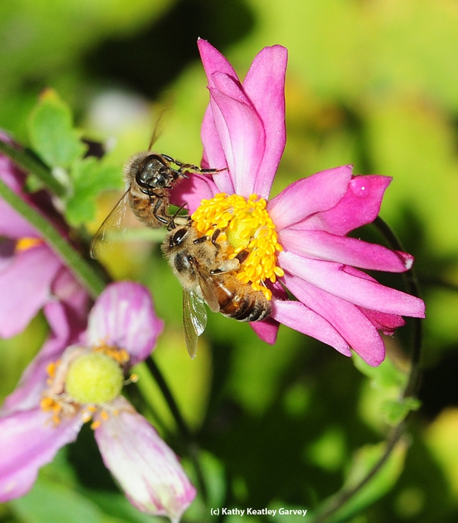 Two honey bees compete for floral resources as they forage on a Japanese anemone in the Luther Burbank gardens, Santa Rosa. (Photo by Kathy Keatley Garvey)