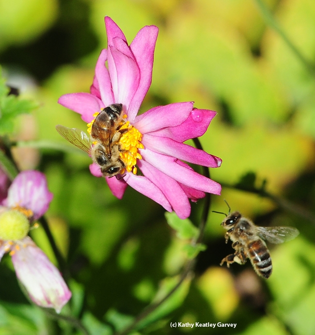 After one honey bee leaves, another returns. (Photo by Kathy Keatley Garvey)