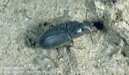 Darkling beetle, adult form of mealworms. (Photo by Jack Kelly Clark, UC Integrated Pest Management Program)