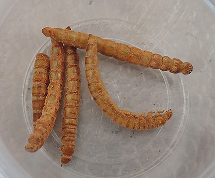 Humans engaging in entomophagy often eat mealworms. They are commonly fed to captive reptiles and amphibians. (Photo by Kathy Keatley Garvey)