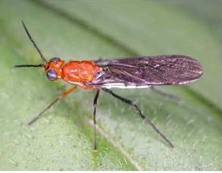 This insect, genus: Lagenosoma and family, Therevidae, needs a species name.