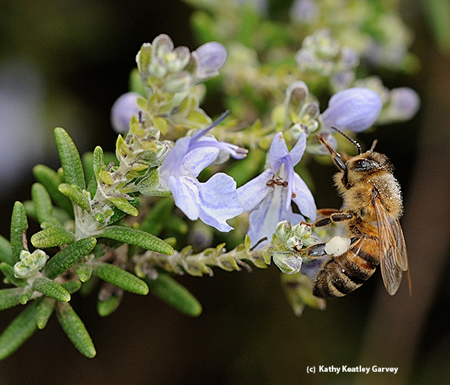 A honey bee foraging on rosemary. (Photo by Kathy Keatley Garvey)