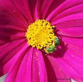 A female ultra green sweat bee, Agapostemon texanus, nectaring on cosmos. (Photo by Kathy Keatley Garvey)