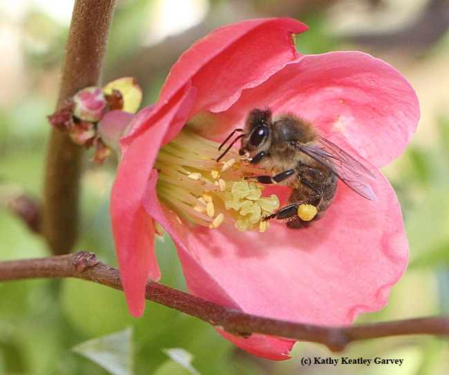 A honey bee foraging on a flowering quince on Jan. 21, 2015. Photo by Kathy Keatley Garvey)
