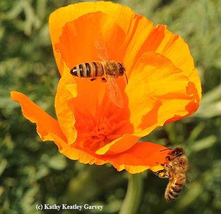 Two honey bees on a California golden poppy. (Photo by Kathy Keatley Garvey)