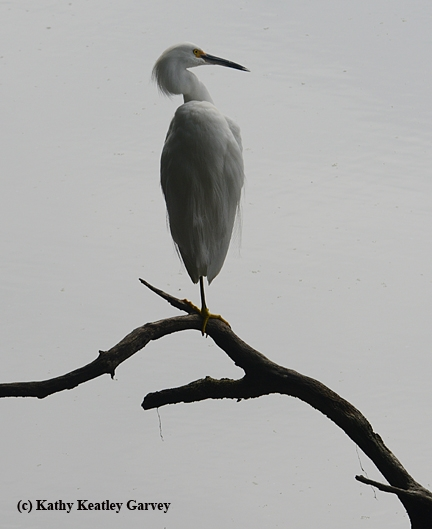 An egret keeps watch in the UC Davis Arboretum. On wintery days, when the temperature dips below 55, there are more birds than bees.(Photo by Kathy Keatley Garvey)