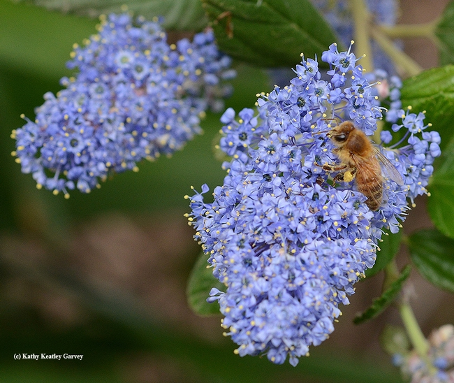 A honey bee forages on a ceanothus (California lilac) in the UC Davis Arboretum. (Photo by Kathy Keatley Garvey)
